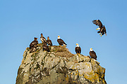Bald eagles perched on rock outcrop in Alaska