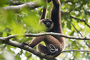 An Agile gibbons, an arboreal primate, bracheates through the Bornean jungle of Tanjung Puting National Park in Indonesia.