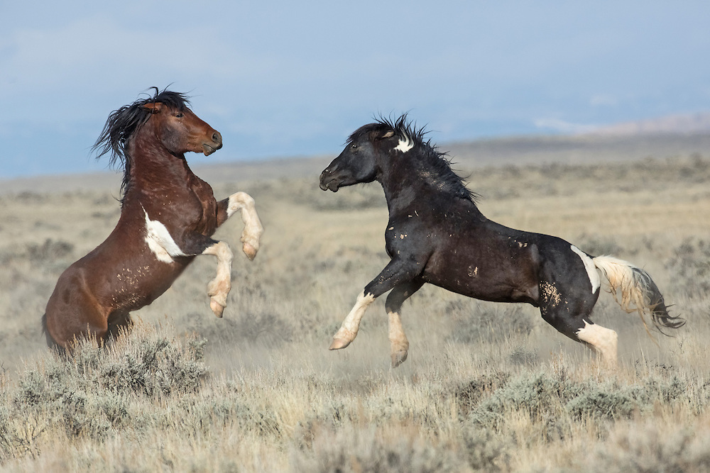 As mares come into season during Spring, wild stallions battle to protect their band from aggressive bachelors. Here the band stallion Chiracahua protects his ladies from the advances of the black tobiano bachelor stallion, Las Vegas.