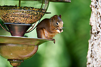Red Squirrel (Tamiasciurus hudsonicus), , Gabriola Island , British Columbia, Canada   Photo: Peter Llewellyn