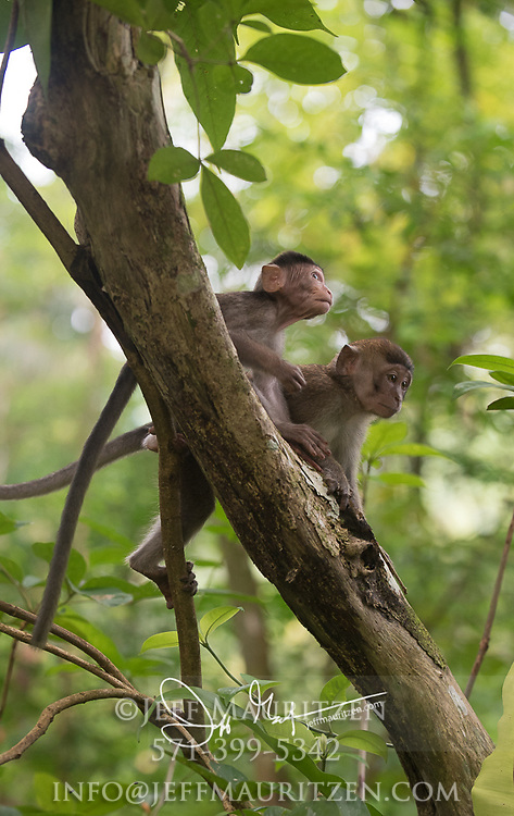 Infant Long-tailed macaques in the tropical rainforest of Bako National Park, Borneo, Malaysia.