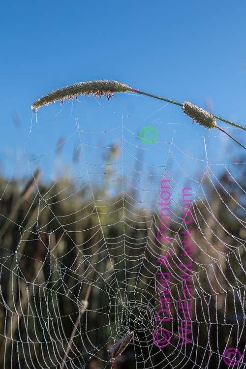 Dew decorates an orb web in the Valle Grande, suspended from the seed head of Timothy grass, © 2017 David A. Ponton [Prints to 8x12, 16x24, 24x36 or 40x60 in. with no cropping]