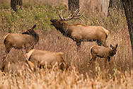 Bull elk, bugling, rut, harem, Cow elk, Cervus Canadensis, Charles M Russell National Wildlife Refuge, Montana