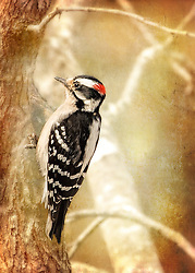 The active little Downy Woodpecker is a familiar sight at backyard feeders and in parks and woodlots, where it joins flocks of chickadees and nuthatches, barely outsizing them. An often acrobatic forager, this black-and-white woodpecker is at home on tiny branches or balancing on slender plant galls, sycamore seed balls, and suet feeders.