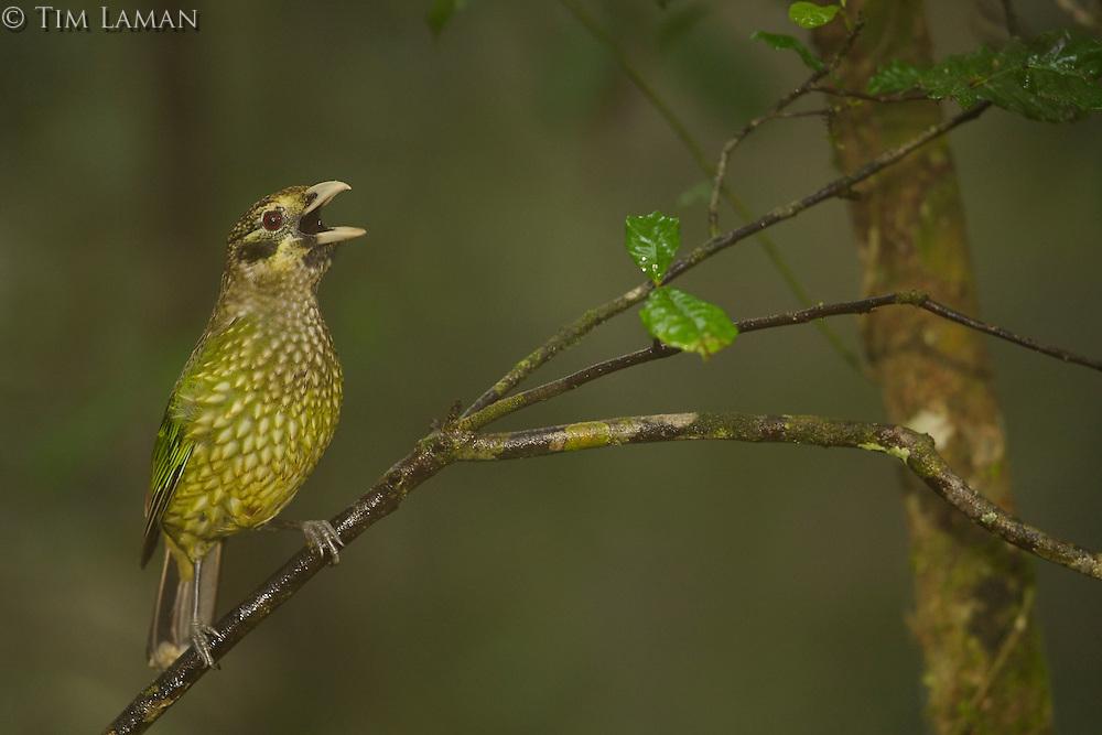 Green Catbird (Ailuroedus crassirostris maculosus) calling..Rain forest of the Paluma Range National Park, Queensland, Australia.