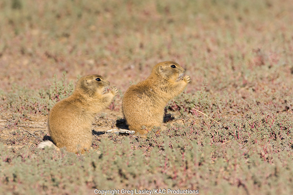White-tailed Prairie Dog.Cynomys leucurus.near Bitter Creek,.Sweetwater Co., Wyoming.19 August 2008