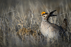 A male lesser prairie-chicken (Tympanuchus pallidicinctus) attempts to entice female lesser prairie-chickens with a showy mating display on a lek near the Smoky Valley Ranch in Logan County, Kansas. Prairie chickens return to the same lek year after year to mate. Males will battle each other to have the prime spot on a lek.<br /> <br /> Lesser prairie-chickens are found in Colorado, Kansas, New Mexico, Oklahoma and Texas with about half of the current population living in western Kansas.<br /> <br /> Males have bright yellow eye-combs. During courtship on a lek, males inflate their red esophageal air sacs and hold erect pinnae on each side of the neck. They rapidly stomp their feet making a drumming-like sound. The booming call of lesser-prairie chickens, amplified by the air sacs, can be heard as far as a mile away.