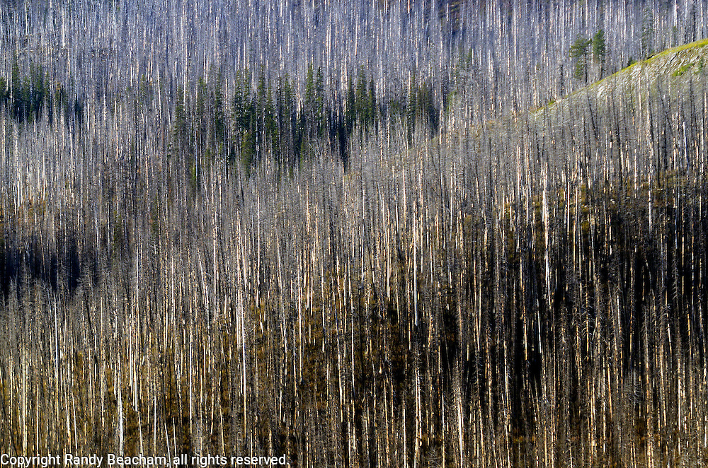 Fire-burned trees and a few survivor trees from the 2007 Corporal Fire in the Flathead Mountain Range near Sergeant Mountain in the Bob Marshall Wilderness. From my 2013 Artist-in-Wilderness Connection program residency run by the Flathead National Forest, Hockaday Museum of Art, Bob Marshall Wilderness Foundation and the Swan Ecosystem Center. Flathead Naitonal Forest, northwest Montana.