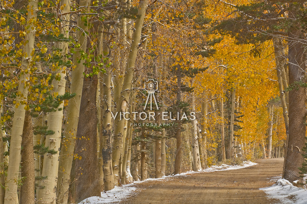 Country road with aspen trees in the fall.Bishop. California, USA.