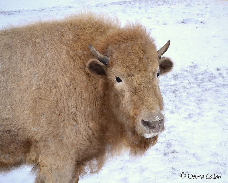 White Buffalo Calf