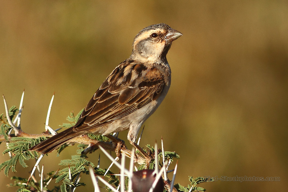 Shelley's (Rufous) Sparrow, Passer shelleyi, Ethiopia, by Markus Lilje