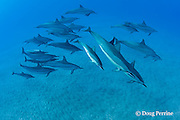 pod of Hawaiian spinner dolphins or long-snouted spinner dolphins, or Gray's spinner dolphins, Stenella longirostris longirostris, including calf with bite wounds from cookie cutter sharks, Hookena, Kona, Hawaii ( the Big Island ) Central Pacific Ocean