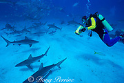 Dr. Erich Ritter videotapes blacktip sharks and Caribbean reef sharks at Shark Rodeo, Walker's Cay, Bahamas ( Western Atlantic )