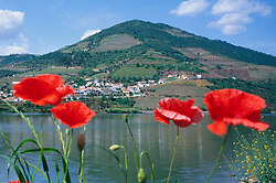 Europe, Portugal, red poppy flowers on banks of Duoro River, with village and mountain on opposite shore