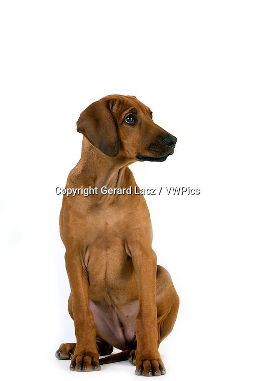 Rhodesian Ridgeback, 3 Months old Puppy sitting against White Background