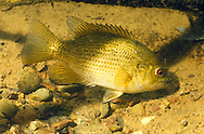 Rock Bass (guarding nest)<br />