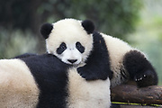Giant Panda<br /> Ailuropoda melanoleuca<br /> 6-8 month-old cub resting on mother<br /> Chengdu Research Base of Giant Panda Breeding, Chengdu, China<br /> *captive