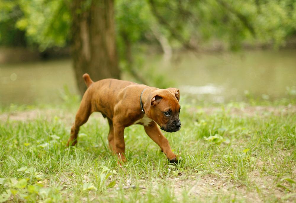 8 Week-Old Boxer Puppy