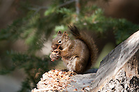 Late September 2016 and all of the Pine Squirrels have started throwing cones from the top of the pine trees to collect and hide for the up coming winter.