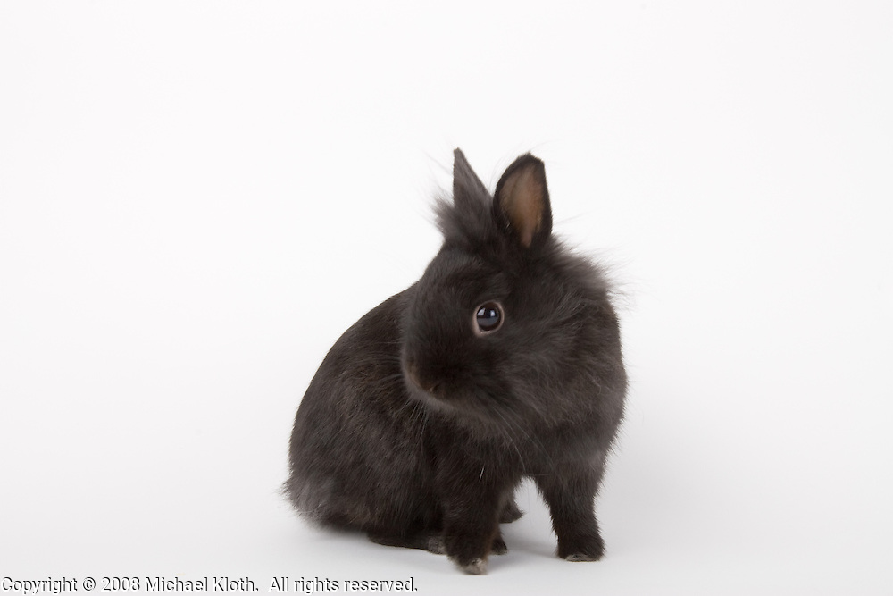 rabbit, rodent, studio portrait