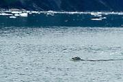 Harbor seal swimming in Endicott Arm, Alaska.