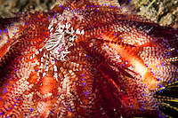Zebra Crab with Eggs, on Fire Urchin<br /> <br /> shot in Indonesia