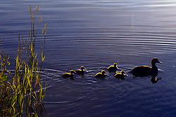 Duck with five ducklings, Tobin Harbor, Isle Royale National Park, Michigan, United States of America
