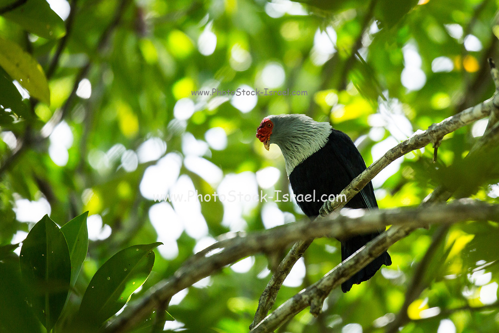 The Seychelles blue pigeon (Alectroenas pulcherrimus), also known as the Seychelles blue fruit dove, is a medium-sized pigeon which inhabits woodland areas of the granitic Seychelles archipelago.