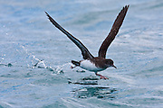 Hutton's Shearwater, Kaikoura, New Zealand