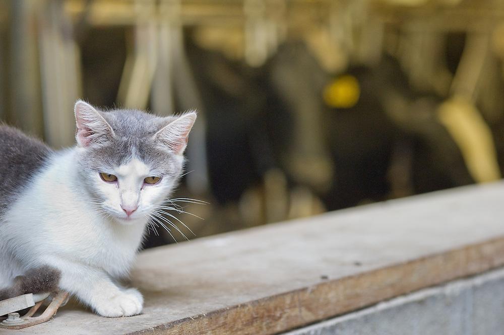 Cat climbing the ledge on a dairy farm