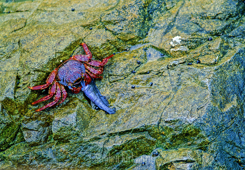 Sally Lightfoot Crab eating fish on rocks near shore - Lima, Peru.