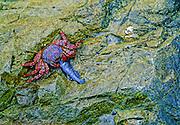 Sally Lightfoot Crab eating fish on rocks near shore - Lima, Peru.