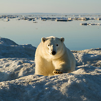 Canada, Nunavut Territory, White Island, Polar Bear (Ursus maritimus) stalking across sea ice in Frozen Strait along Hudson Bay