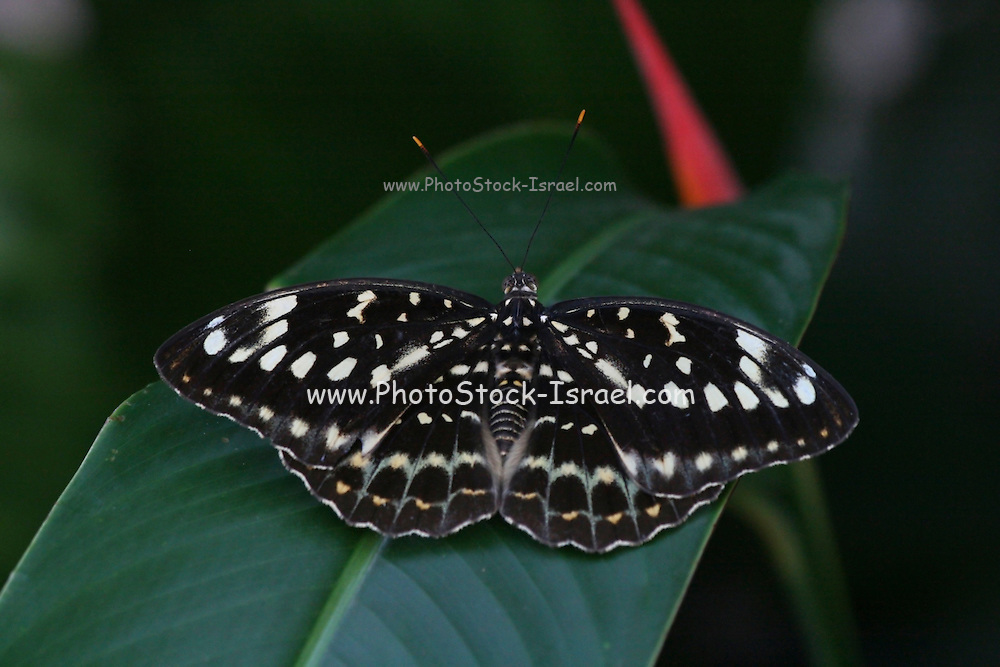 Sasakia charonda, the Great purple emperor, is a species of butterflies in the family Nymphalidae. Photographed in Cambodia