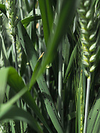 OLYMPUS DIGITAL CAMERAWheat Breeding in the OSU Greenhouses located on the Agronomy Research Station in Stillwater Oklahoma.<br /> Emasculating wheat for crossing varieties of wheat.