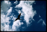 Silhouetted white stork (Ciconia ciconia) soars beneath clouds and blue sky in summer; Alsace. France