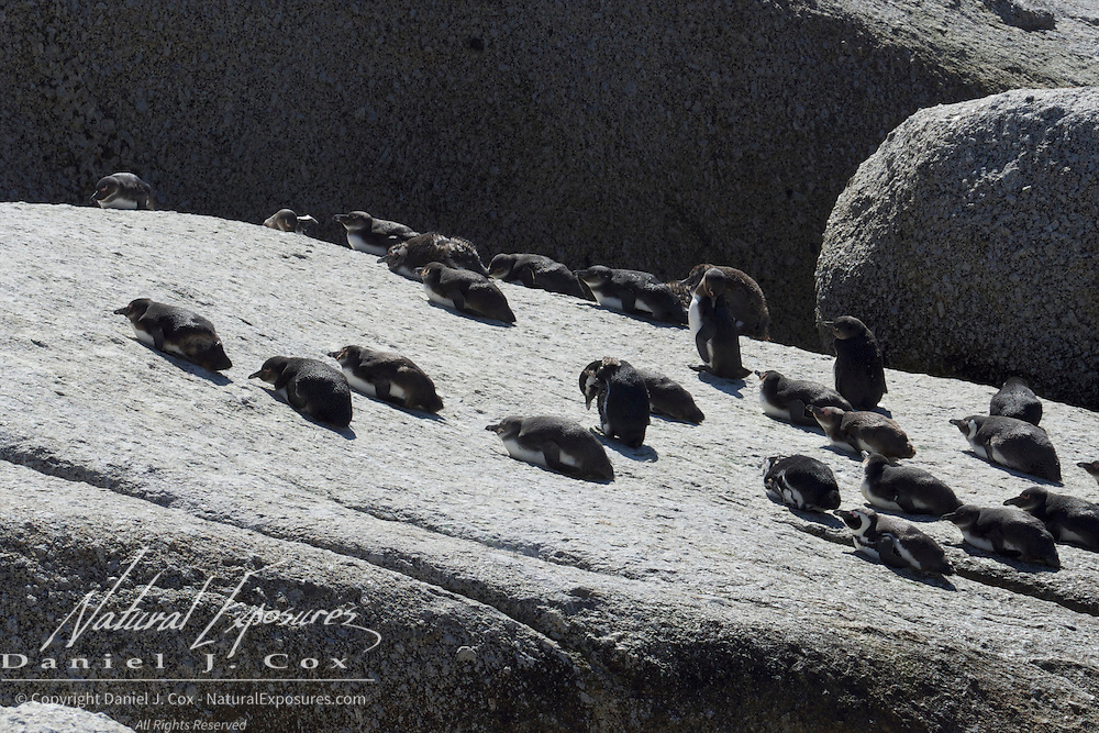 African penguins on a rock outcrop at the Boulders Penguin Colony, Table Mountain National Park, South Africa.
