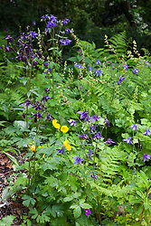 Aquilegia vulgaris, Meconopsis cambrica (Welsh poppy) and ferns in the woodland garden at Glebe Cottage