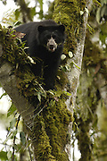 Spectacled or Andean Bear (Tremarctos ornatus)  WILD adolescent male feeding on fruiting Aquacartillo trees.<br /> Maquipucuna Foundation Cloud Forest Reserve.<br /> Andes. ECUADOR.  South America<br /> Range: Found in a narrow strip from W. Venezuela to the Andes of Colombia, Ecuador, Peru, Bolivia and northern Argentina.<br /> ENDANGERED (CITES 1)<br /> Spectacled bears are the only bears found in South America. They are vulnerable due to fragmented habitat loss from farming. Although illegal some are still hunted.<br /> They are timid animals and usually run away from people. There are no known attacks on humans. Generally they are solitary but sometimes several are found together in corn fields, fruiting trees or scavenging on a carcass.