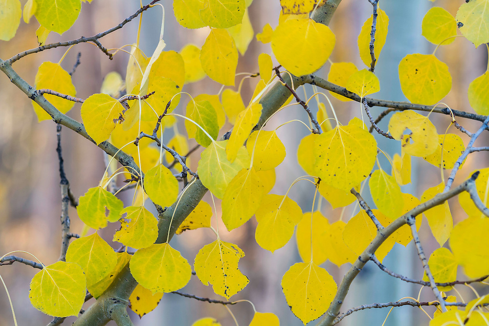 A close up view of golden aspen leaves during Utah's Fall colors.