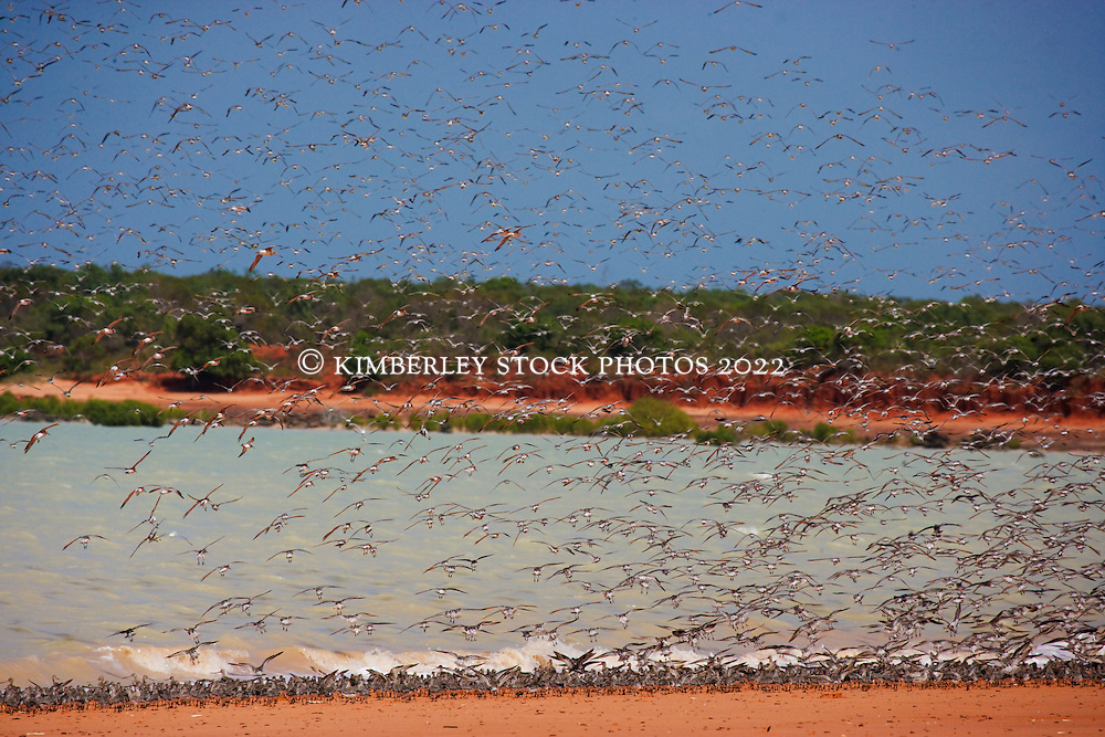 Flocks of birds rise in flight at Crab Creek on the Kimberley coast, south of Broome.  The migratory birds arrive at the beginning of the wet from as far afield as Siberia.