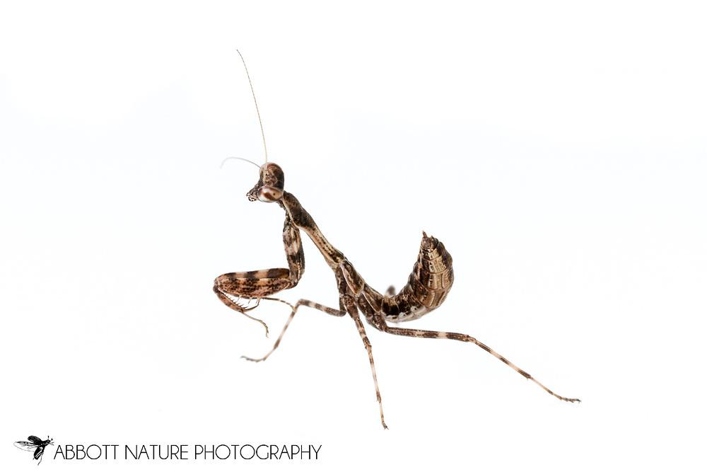 Budwing Mantis (Parasphendale agrionina) nymph<br /> captive reared individual<br /> 15-Feb-2017<br /> J.C. Abbott &amp; K.K. Abbott