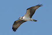 A soaring Osprey in search of a fish meal.