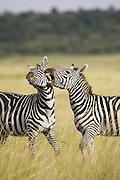 Plains Zebra<br /> Equus burchelli<br /> Masai Mara Triangle, Kenya