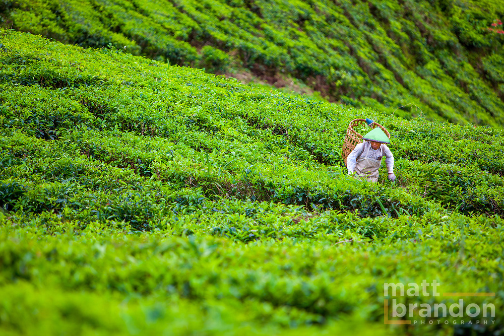 A migrant worker from Jakarta works picking tea leaves on a tea plantation in Sumatran, Indonesia.