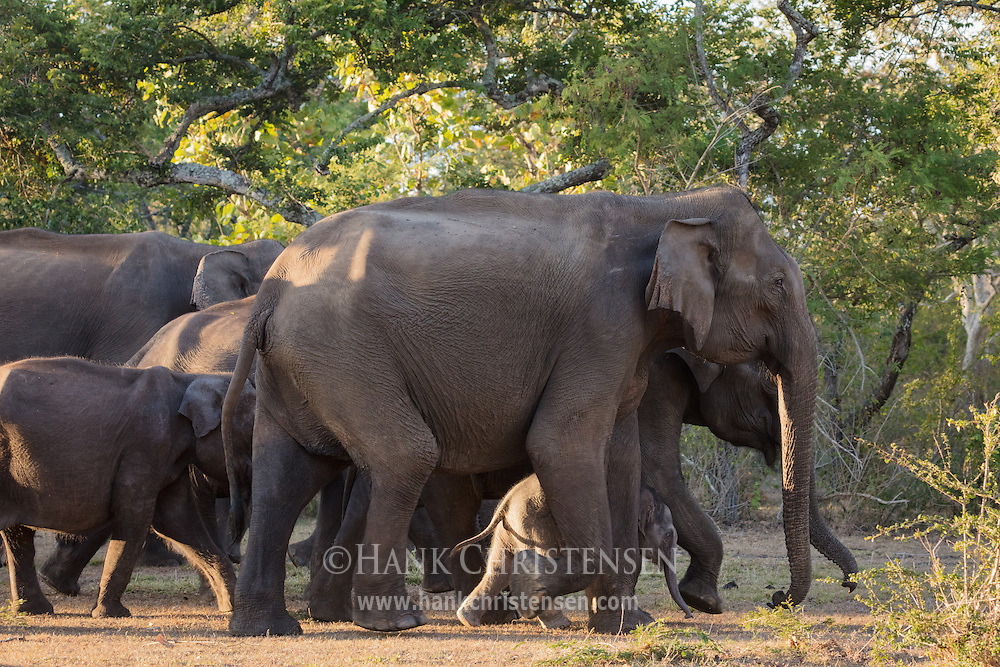 An asian elephant herd surrounds a tiny baby to protect it, Mudumalai National Park, India.