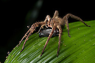 A Brazilian wandering spider (Phoneutria sp.) dining on a meal.