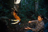 This is the first time a rufous-necked hornbill has been captured by biologists . Pilai Poonswad and her team captured this hornbill and moved in quickly to extricate it from thrashing and squawking in the net. After measuring the nette d hornbill and strapping a radio transmitter to his back, they returned him to the task of feeding his mate.