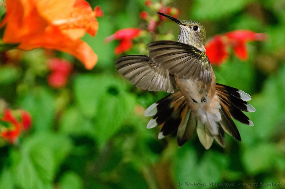 Broad-tailed Hummingbird [Selasphorus platycercus] female visiting Hibiscus flower; Fremont County, Colorado