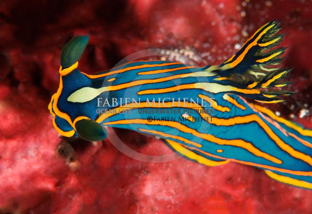 Nudibranch (Tambja victoriae) on a Sponge, Raja Ampat, Indonesia